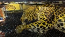 """Il """"guagliò"""" del leopardo, c'è o non c'è?"""