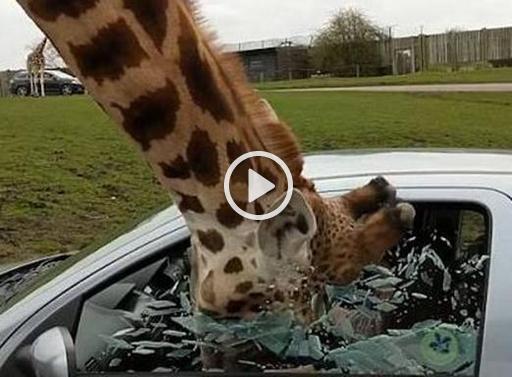 giraffaok-kewf-656x492corriere-web-nazionale_512x384_fb