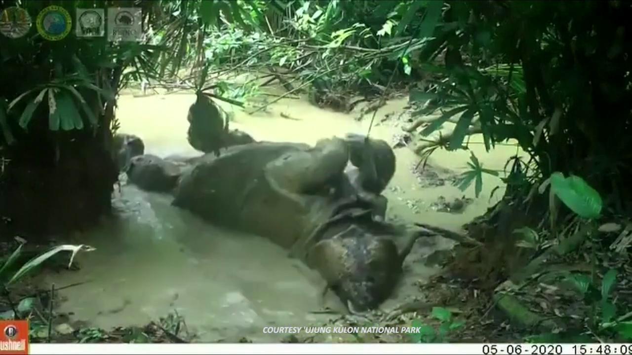 717530-thumb-full-720-endangered_javan_rhino_caught_en