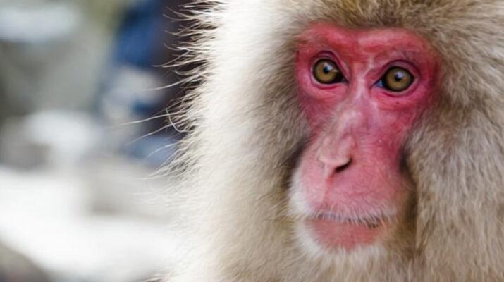 macaco-giapponese-copia